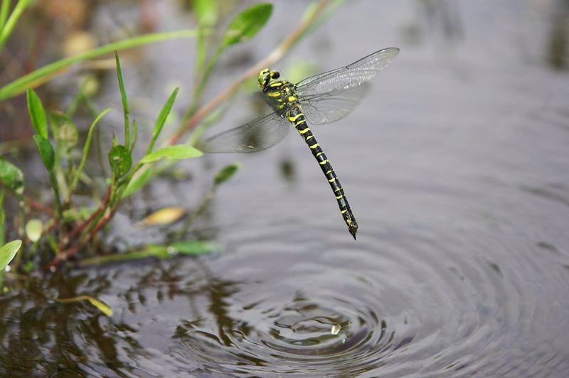 Golden R Dragonfly0002.jpg